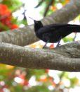 corbeau calédonien