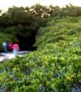 mangrove_ouemo_large