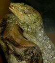 gecko géant de Leach